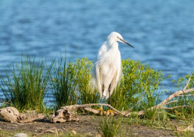 little-egret-2591578_1920